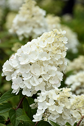 Strawberry Sundae® Hydrangea (Hydrangea paniculata 'Rensun') at Platt Hill Nursery