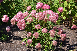 Invincibelle® Ruby Smooth Hydrangea (Hydrangea arborescens 'NCHA3') at Platt Hill Nursery