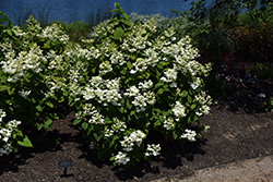 White Diamonds® Hydrangea (Hydrangea paniculata 'HYPMAD I') at Platt Hill Nursery