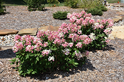 Little Quick Fire® Hydrangea (Hydrangea paniculata 'SMHPLQF') at Platt Hill Nursery