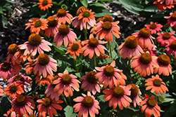 Sombrero® Hot Coral Coneflower (Echinacea 'Balsomcor') at Platt Hill Nursery