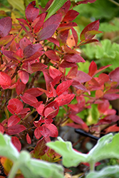 Jelly Bean® Blueberry (Vaccinium 'ZF06-179') at Platt Hill Nursery